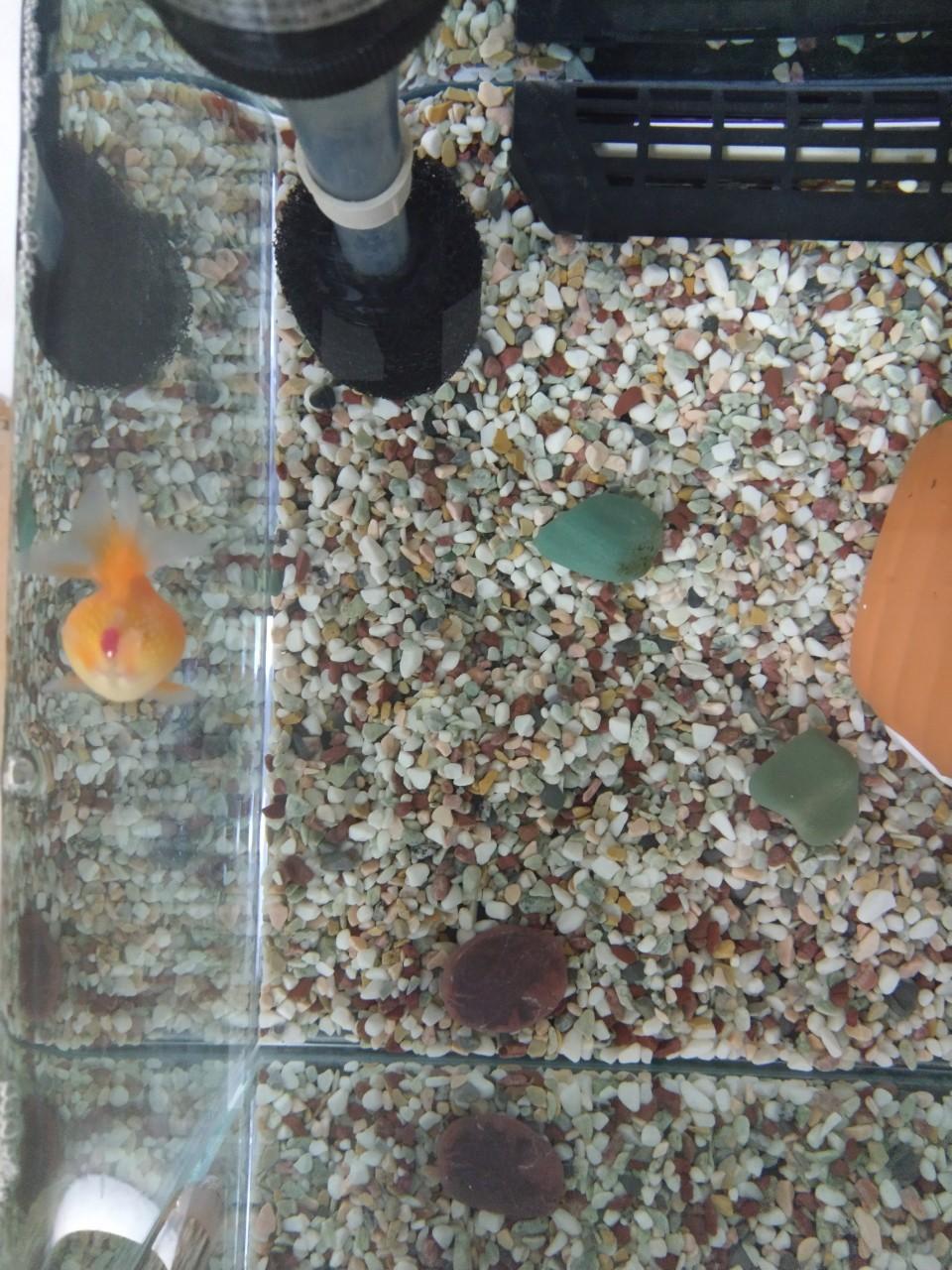金魚のお尻が赤い