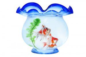 金魚鉢での飼育は難しい