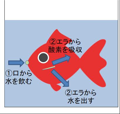 金魚のエラ呼吸